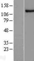 NBL1-13626 - NFX1 Lysate