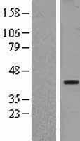 NBL1-13627 - NFYA Lysate