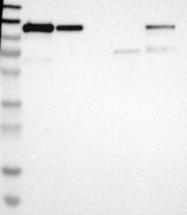 NBP1-87760 - NFKB2 / NF-kappa-B p100/p52