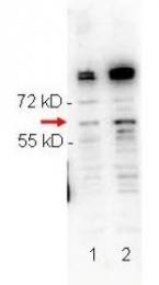 NBP1-77827 - RNF2
