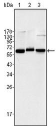 NBP1-51584 - RELA / NF-kB p65