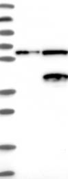 NBP1-88408 - Neuroguidin