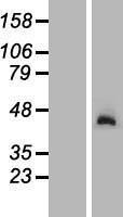 NBL1-13632 - NGDN Lysate