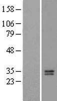 NBL1-13634 - NGF Lysate