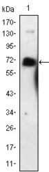 NBP1-51590 - CD271 / NGFR