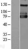 NBL1-16195 - Sodium / Hydrogen Exchanger 1 Lysate
