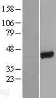 NBL1-16198 - NHERF-1 Lysate