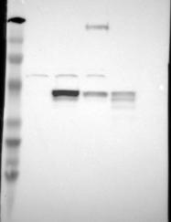 NBP1-84944 - SLC9A3R2 / NHERF2