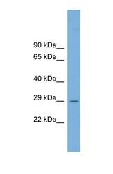 NBP1-70653 - C1orf43