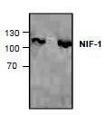 NBP1-45742 - ZNF335