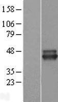 NBL1-13642 - NIF3L1 Lysate