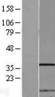 NBL1-13643 - NIP30 Lysate