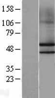 NBL1-13651 - NKAP Lysate