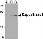 NBP1-76725 - NKIRAS1