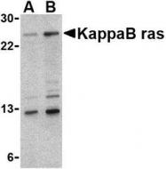 NBP1-76726 - NKIRAS1