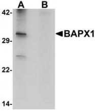NBP1-76541 - BAPX1 / NKX3B