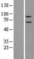 NBL1-13670 - NLN Lysate