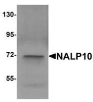 NBP1-76291 - NLRP10