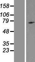 NBL1-13672 - NLRP10 Lysate