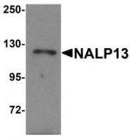 NBP1-76294 - NLRP13