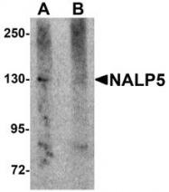 NBP1-76289 - NLRP5