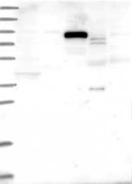 NBP1-94098 - NALP9 / NOD6