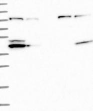 NBP1-84438 - NLRX1 / NOD9