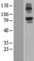 NBL1-13677 - NLRX1 Lysate