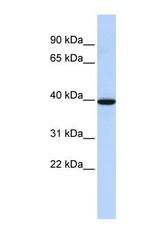 NBP1-59024 - Neuromedin B receptor