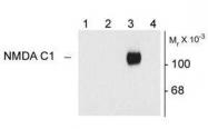 NB300-115 - NMDA Receptor 1