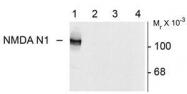 NB300-114 - NMDA Receptor 1