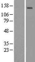 NBL1-11339 - NMDAR2C Lysate