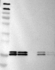 NBP1-80992 - NDP kinase B / NME2