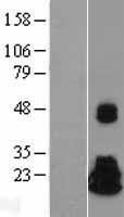 NBL1-13686 - NME4 Lysate