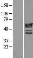 NBL1-13694 - NMT1 Lysate
