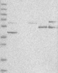 NBP1-83433 - GPR66