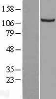 NBL1-13701 - NNT Lysate