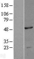 NBL1-13702 - NOB1 Lysate