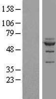 NBL1-13704 - NOC4L Lysate