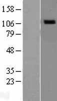 NBL1-13705 - NOD1 Lysate