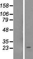 NBL1-13709 - NOL12 Lysate