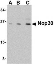 NBP1-76460 - NOL3 / ARC