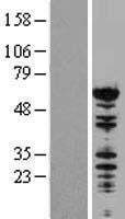 NBL1-13717 - NONO Lysate