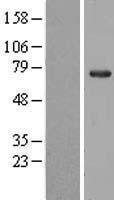 NBL1-13711 - NOP56 Lysate