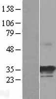 NBL1-13722 - NOSIP Lysate