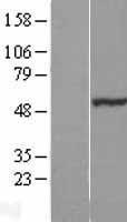 NBL1-13723 - NOSTRIN Lysate
