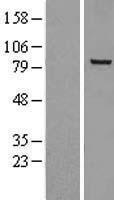 NBL1-13733 - NOX5 Lysate