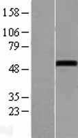 NBL1-13734 - NOXA1 Lysate