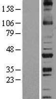 NBL1-13735 - NOXO1 Lysate