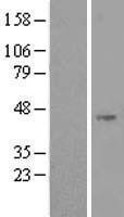 NBL1-13736 - NOXO1 Lysate